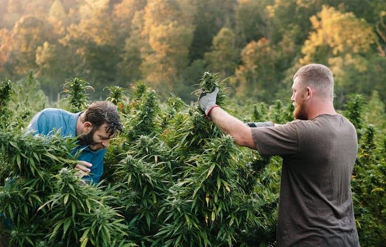 hemp crops